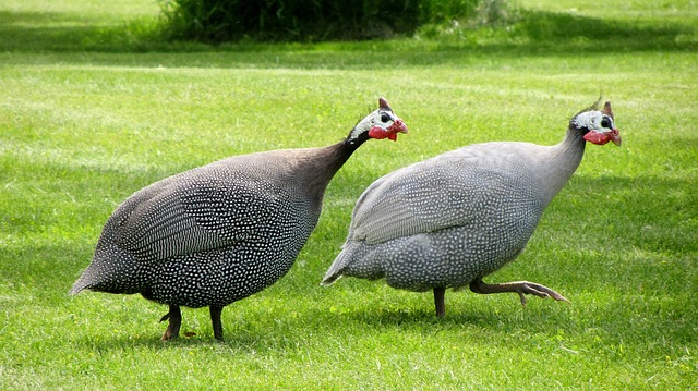 How to tell the difference between male and female guinea fowl